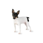 Petland Monroeville, PA Toy Fox Terrier