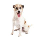 Petland Monroeville, PA Jack Russel Terrier