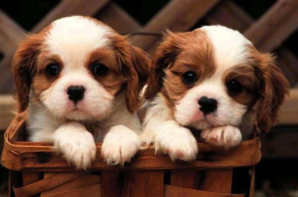 Puppy Financing