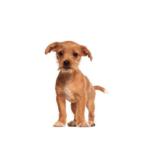 Border Terrier Puppies Monroeville Pa Petland Monroeville