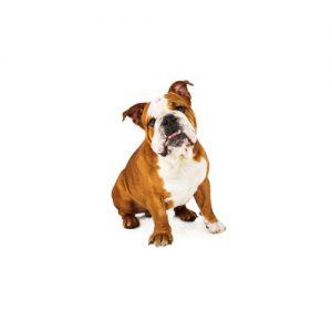 English Bulldog Puppies | Monroeville, PA | Petland Monroeville