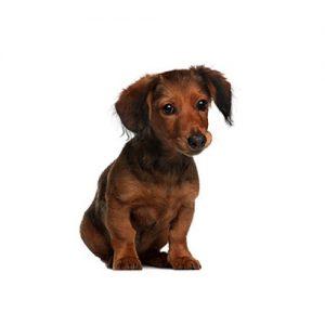 Dachshund Puppies | Monroeville, PA | Petland Monroeville