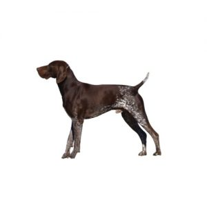 German Shorthaired Pointer Puppies Monroeville Pa Petland