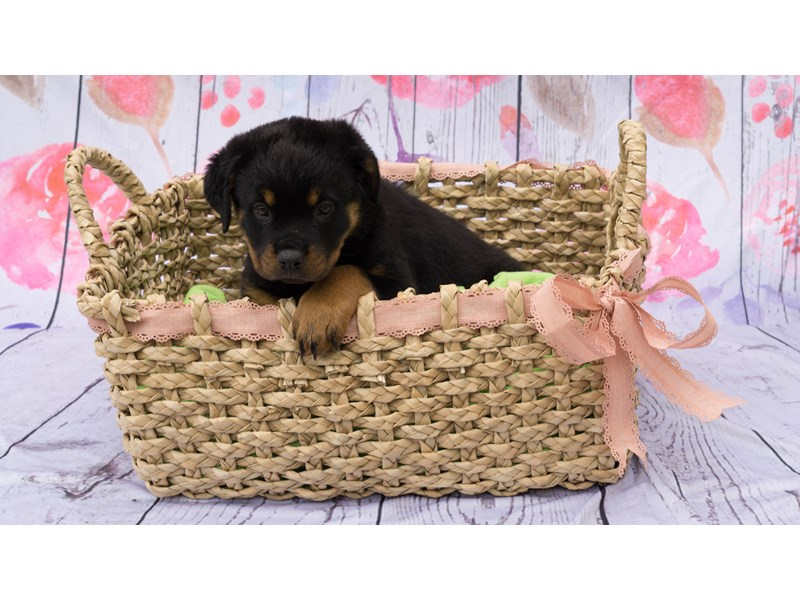 Visit Our Friendly Rottweiler Puppies For Sale Near Mckeesport Pa