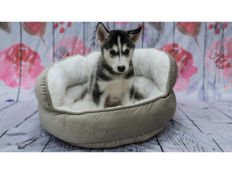 Visit Our Siberian Husky Puppies For Sale Near Mckeesport Pa