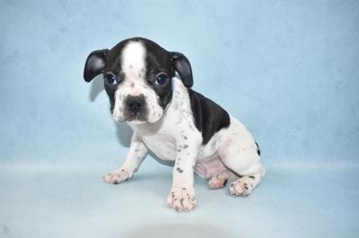 French Bulldog-DOG-Male-Black and White-4662-Petland Monroeville