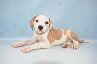 American Bulldog-DOG-Female-White and Red-5003-Petland Monroeville