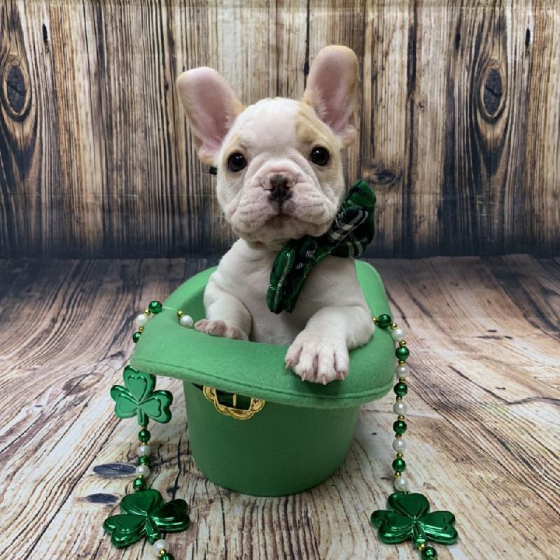 French Bulldog-DOG-Female-cr, pbld-5040-Petland Monroeville