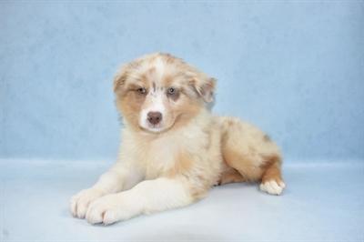 Australian Shepherd-DOG-Male-Red Merle-5283-Petland Monroeville