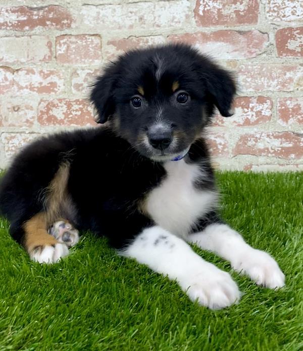 Australian Shepherd-DOG-Male-Black-5389-Petland Monroeville