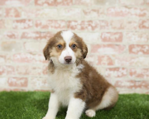 Australian Shepherd-DOG-Male-Red-5423-Petland Monroeville