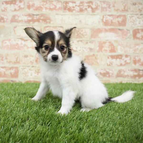 Papillon-DOG-Female-White / Sable-5476-Petland Monroeville