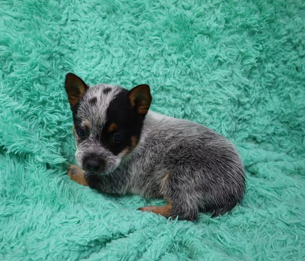 Australian Cattle Dog-DOG-Male-Blue Mottled-6296-Petland Monroeville
