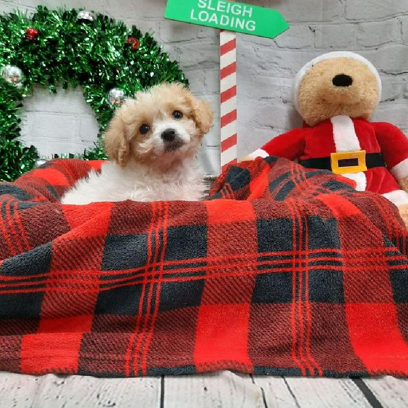 Cavachon-DOG-Female-Cream-6393-Petland Monroeville