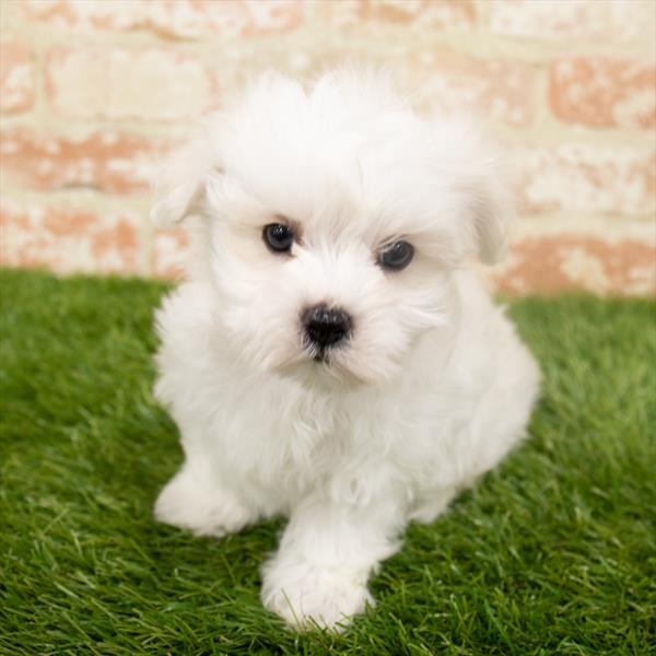 Maltese-DOG-Male-White-6453-Petland Monroeville