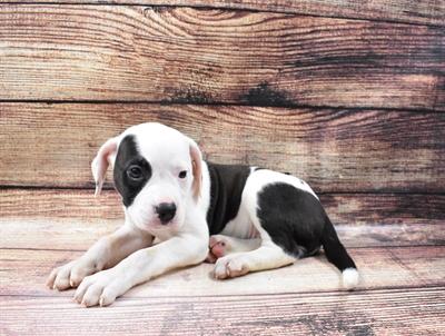 American Bulldog-DOG-Female-White-6670-Petland Monroeville