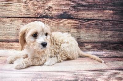 Cavachon-DOG-Female-Cream-6797-Petland Monroeville