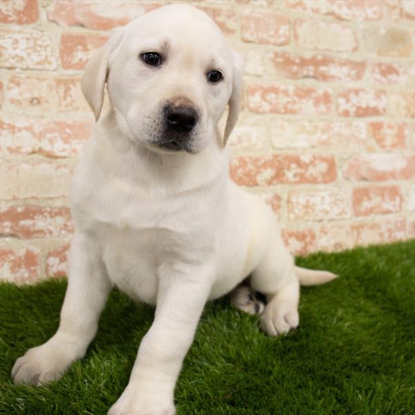 Labrador Retriever-DOG-Male-Yellow-6870-Petland Monroeville