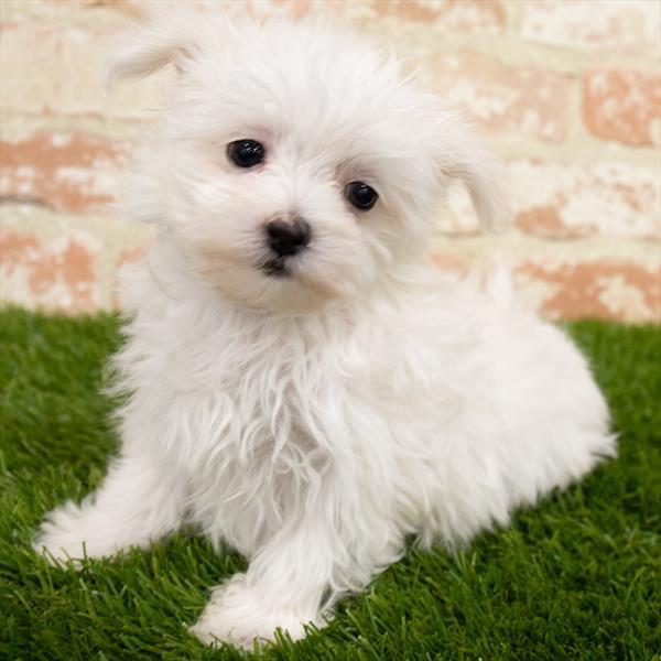 Maltese-DOG-Female-White-6878-Petland Monroeville