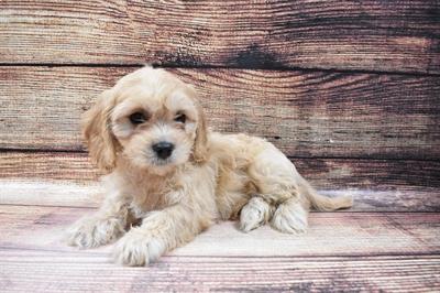 Cavachon-DOG-Male-Cream-6796-Petland Monroeville
