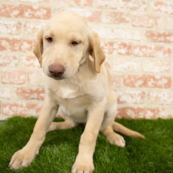 Labrador Retriever-DOG-Female-Yellow-6833-Petland Monroeville
