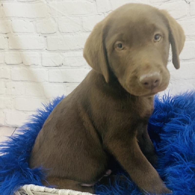Labrador Retriever-DOG-Male-Chocolate-6943-Petland Monroeville