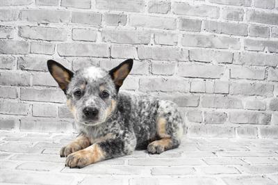 Australian Cattle Dog-DOG-Male-Blue Speckled-7300-Petland Monroeville