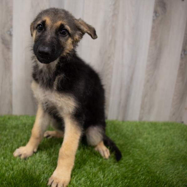 German Shepherd-DOG-Female-Black / Tan-7344-Petland Monroeville