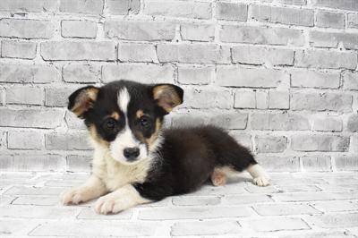 Pembroke Welsh Corgi-DOG-Male-Black and Tan-7395-Petland Monroeville