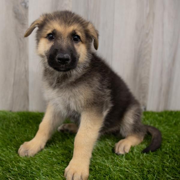 German Shepherd-DOG-Male-Black / Tan-7407-Petland Monroeville