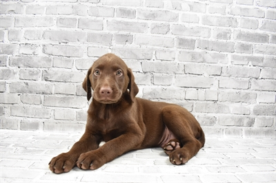 German Shepherd-DOG-Male-Chocolate-7509-Petland Monroeville