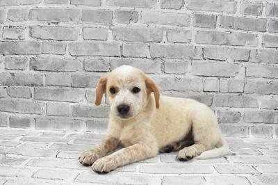 Australian Cattle Dog-DOG-Male-Red Mottled-7356-Petland Monroeville