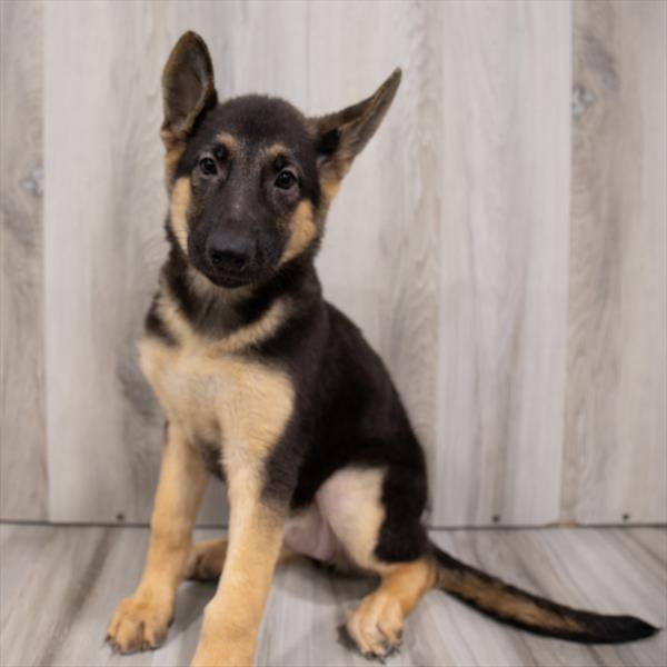 German Shepherd-DOG-Female-Black / Tan-7520-Petland Monroeville